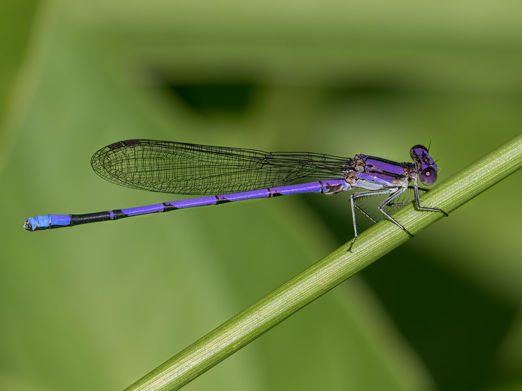 Variable Dancer, male
