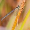 Female eating a teneral male, Summit Bridge Ponds