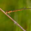 Female, immature, Sedge Meadow at Summit Bridge Ponds, DE