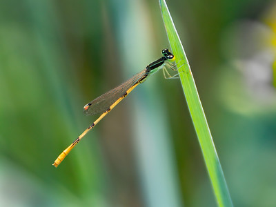 Citrine Forktail (Ischnura hastata), male