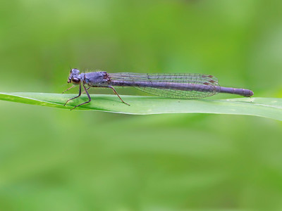 Fragile Forktail (Ischnura posita), female