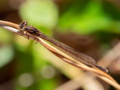 Fragile Forktail (ischnura posita), teneral male