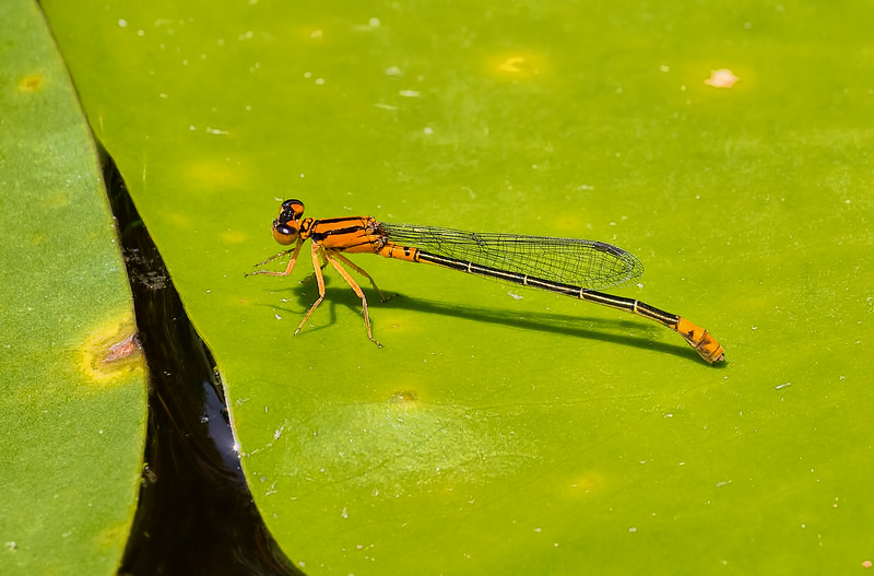 Female, Orange Morph, Idylwild WMA, MD