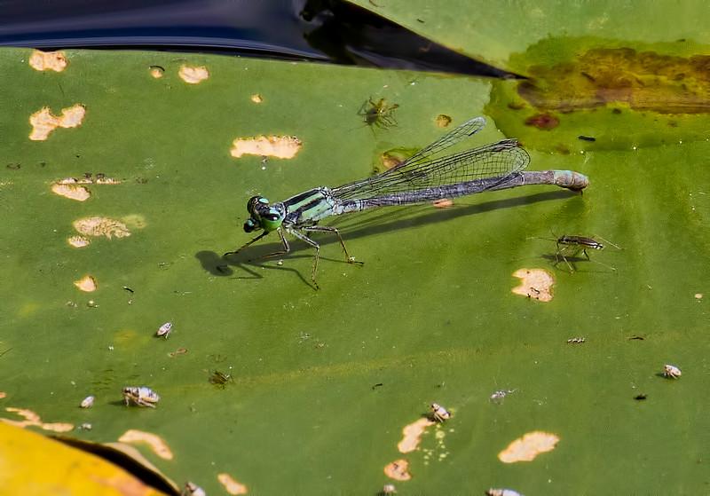 Female, Blue Morph, Idylwild WMA, MD