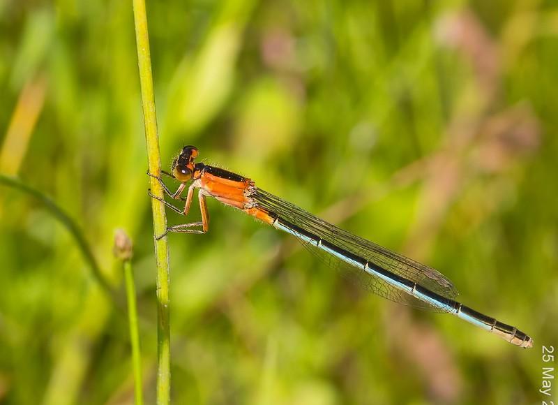 Female, Immature, Lum's Pond State Park