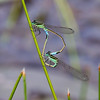 Pair in wheel, female andromorph, Cherry Walk Fen