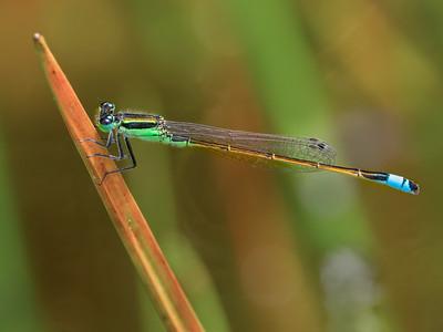 Rambur's Forktail (Ischnura ramburii), male