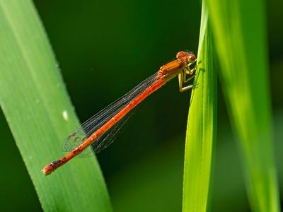 Eastern Red Damsel (Amphiagrion saucium), female