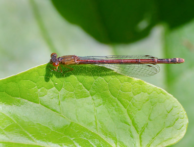 Eastern Red Damsel (Amphiagrion saucium), Female