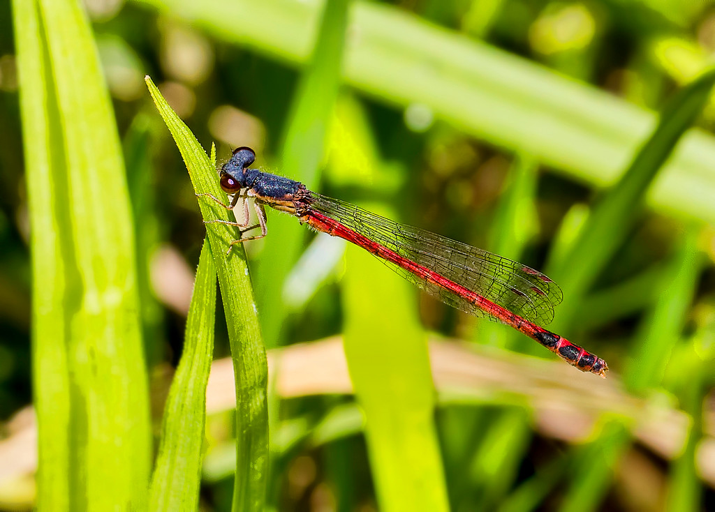 Eastern Red Damsel, male
