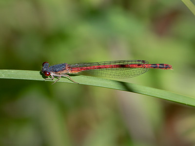 Eastern Red Damsel (Amphiagrion saucium), Male