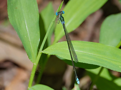 Sphagnum Sprite (Nehalennia gracilis), female