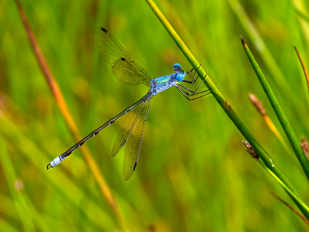 Amber-winged Spreadwing, male