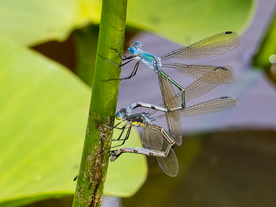 Ovipositing pair, Ten Acre Pond, Centre County, PA