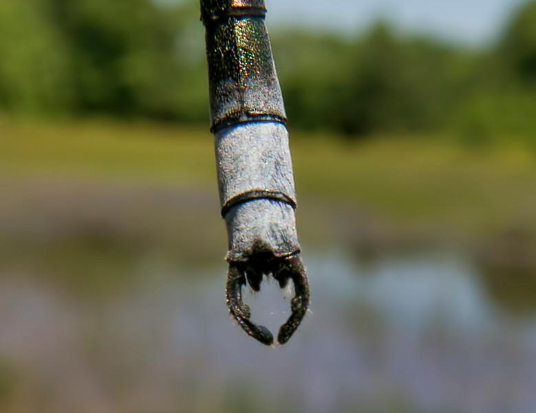 Male appendages, Summit Bridge Ponds