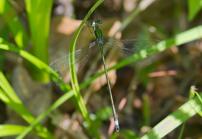 Male, Calvert Cliffs State Park, MD