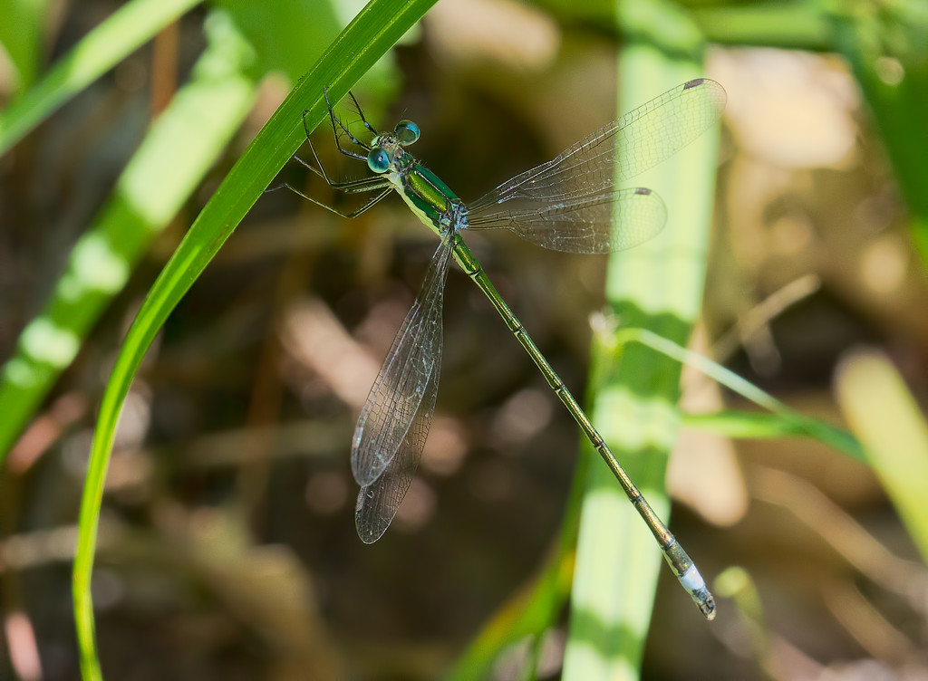 Elegant Spreadwing, male
