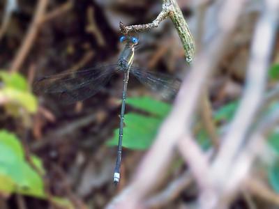 Great Spreadwing (Archilestes grandis), male