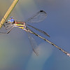 Great Spreadwing (Archilestes grandis), Male