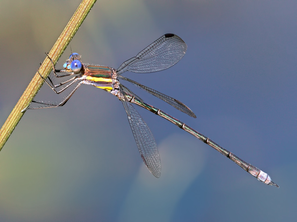 Great Spreadwing, male