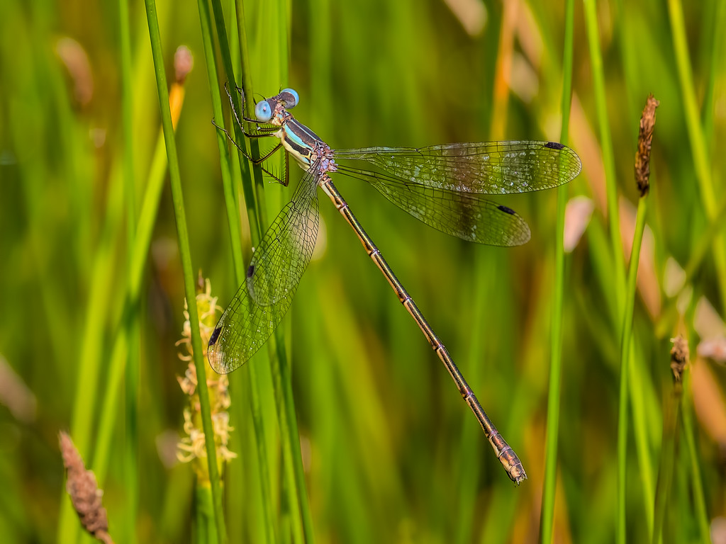 Slender Spreadwing, female