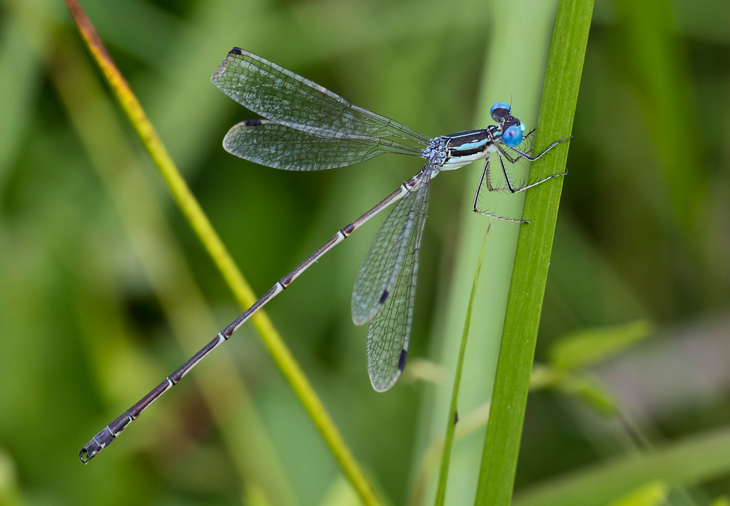 Slender Spreadwing, male