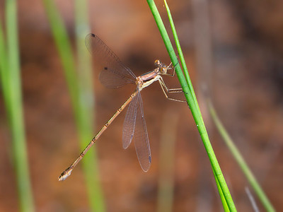 Slender Spreawing (Lestes rectangularis), female