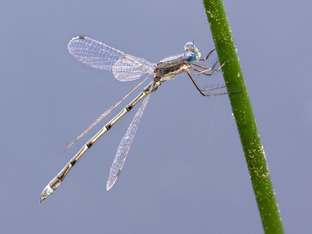 Southern Spreadwing, male