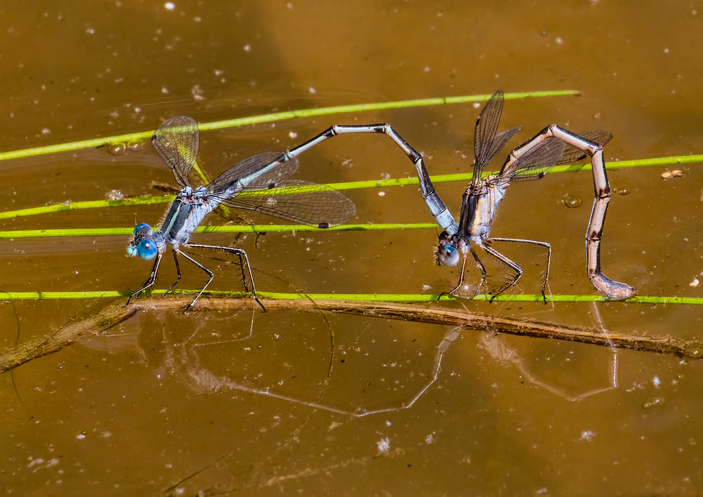 Southern Spreadwing, female