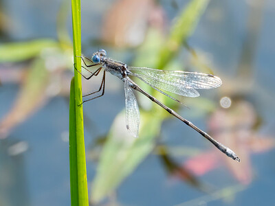 Southern Spreadwing (Lestes australis), male