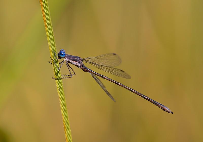 Male, Lum's Pond