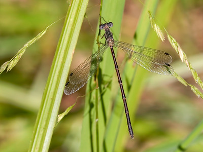 Spotted Spreadwing (Lestes congener), Female