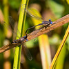 Ovipositing Pair, Lum's Pond State Park