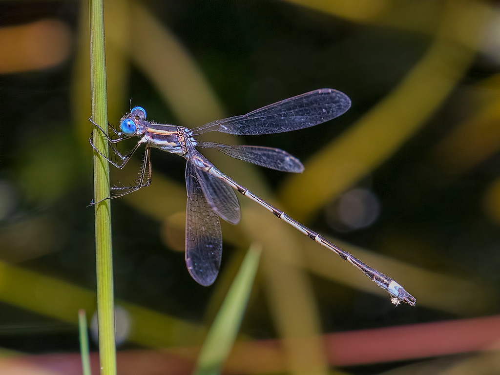 Sweetflag Spreadwing, male