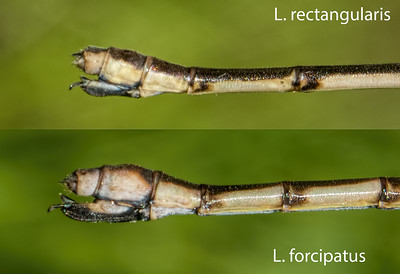 Comparison of Slender and Sweetflag Spreadwing ovipositors, Lum's Pond SP