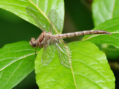 Teneral Female, Blackbird State Forest, DE