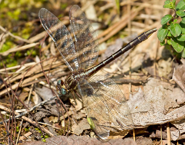 Female, Trap Pond SP