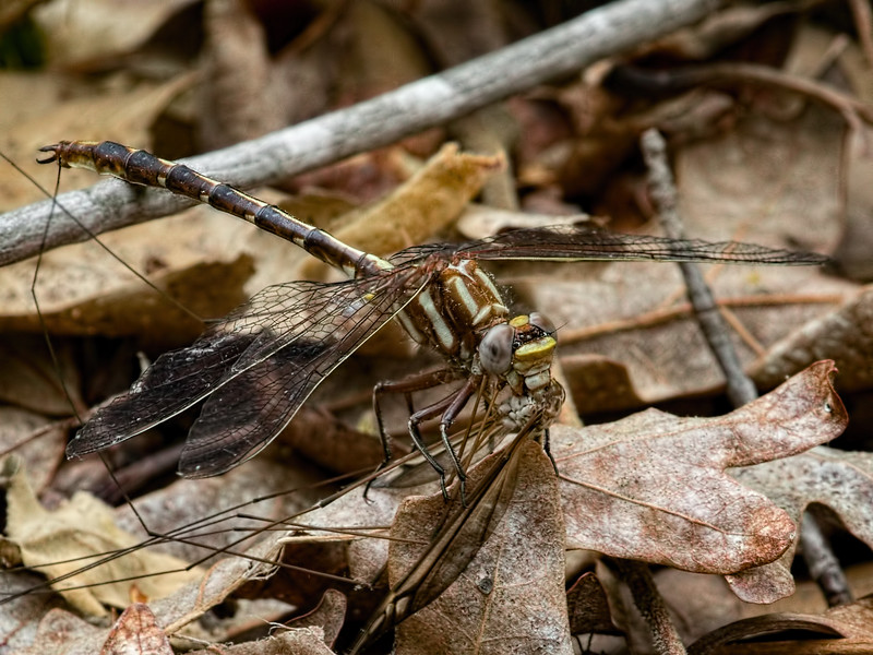 Male, Blackbird State Forest, Consuming Crane Fly