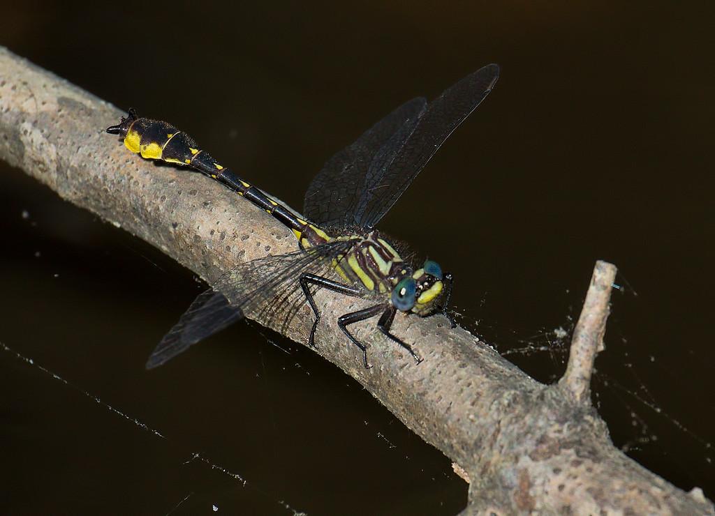 Banner Clubtail, male