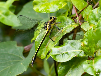 Black-shouldered Spinylegs (Dromogomphus spinosus), Female
