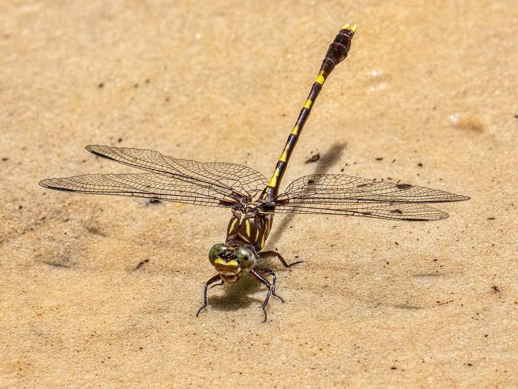 Common Sanddragon, male