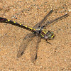 Common Sanddragon (Progomphus obscurus), Male
