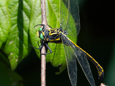 Dragonhunter (Hegenius brevistylus), male