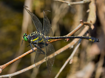 Male, Brandywine Creek SP