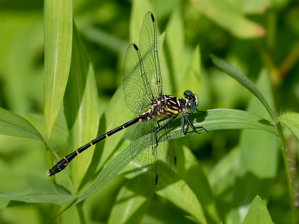 Eastern Least Clubtail, male