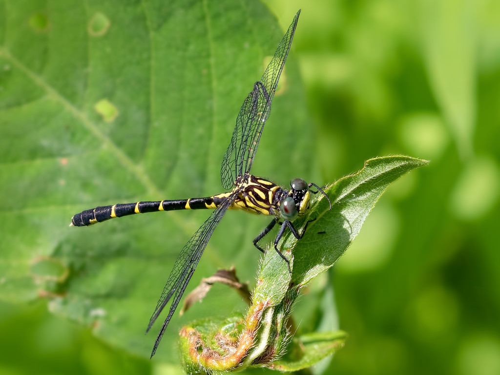 Eastern Least Clubtail, female
