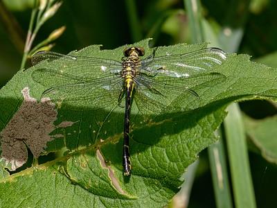 Eastern Least Clubtail (Stylogomphus albistylus), Female