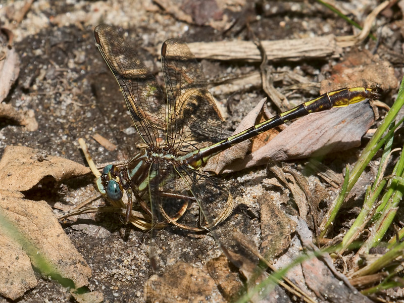 Male, Blackbird State Forest