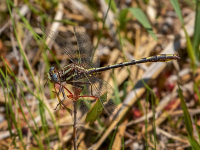 Lancet Clubtail, male, Winslow WMA, NJ