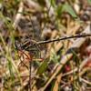 Lancet Clubtail, male, Winslow WMA, NJ